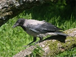 Grkrage (Corvus corone cornix)